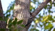 Japanese Pygmy Woodpecker (Dendrocopos kizuki) video