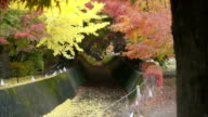 japanese red yellow maple ginkgo leaves in autumn falling video