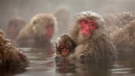 Japanese Snow Monkey Winter Hot Spring video