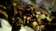 Japanese spider crab crawls close to video