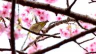 Japanese white‐eye video