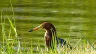 Javan Pond heron video