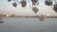Jefferson Memorial Behind Blossoms video