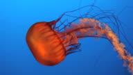 Jelly fish HD video