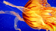 Jellyfish Gracefully Propels Itself In The Ocean video