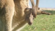 Joey  Kangaroo Wallaby Marsupial Animal Australia video