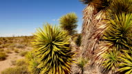 Joshua Trees and cactus in America´s Red Rock National Park video