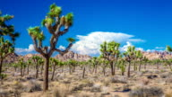 TIME LAPSE: Joshua Trees in Desert video