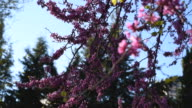 Judas Trees Were in Bloom at Istanbul - Cam is focusing slowly video