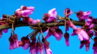 Judas-tree blooming on blue background video