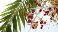 Juicy Berries on a Branch video