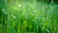 juicy green grass macro sun shines through the leaves of the grass beautiful background macro spring summer landscape beautiful sunlight dew on the grass video