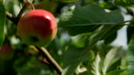 juicy red apple on a tree branch video