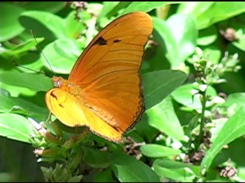 Julia Butterfly 2 NTSC video