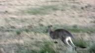 Jumping Kangaroo in Outback Australia video