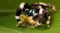 Jumping spider video