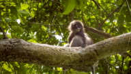 Jung Dusky Leaf Monkey, Langur in Forest Playing with an Other, Railay, Krabi, Thailand. video