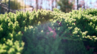 Juniper - panning shallow DOF video against the sunlight, with artistic lens flare video