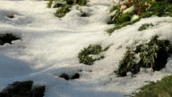 junipers rising while the snow melting video
