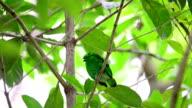 Juvenile green bird video