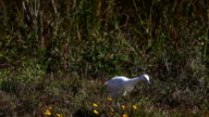 Juvenile Little Blue Heron, Egretta caerulea, hunting in Everglades video