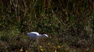 Juvenile Little Blue Heron, Egretta caerulea, hunting video