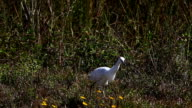 Juvenile Little Blue Heron, Egretta caerulea video