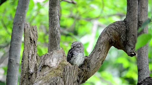 Juvenile owl coming out from hole nest tree resting. video