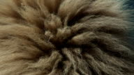 Kalahari Lion mane video