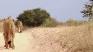 KalahariLions video
