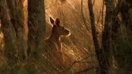 Kangaroo in the bush video