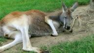 Kangaroo Laying Down And Sleeping video