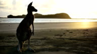 Kangaroo on the beach at sunrise video