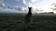Kangaroo on the beach at sunrise video