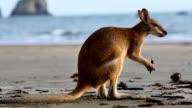 Kangaroo on the beach video
