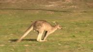 Kangaroo, Sitting, Skipping, Outback, Australia video