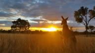 Kangaroo Sunset Australia Landscape video