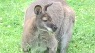 Kangaroo. video