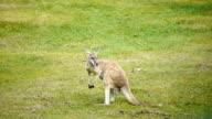 HD - Kangaroo video