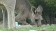 Kangaroo video