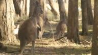 Kangaroo Wallaby Marsupial Animal Australia video