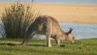 Kangaroo Wallaby Marsupial Animal Eating Australia video
