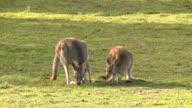 Kangaroos Grazing, Outback, Australia video