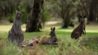 Kangaroos in the Wild A video
