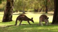 Kangaroos in the Wild C video