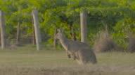 Kangaroos in vineyards video