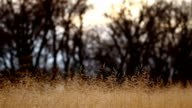 Kansas Ornamental Grass video