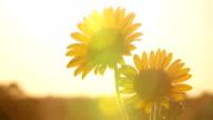 Kansas Sunflowers Setting The Mood HD video