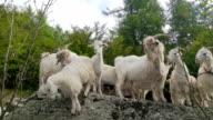 kashmir goats portrait video