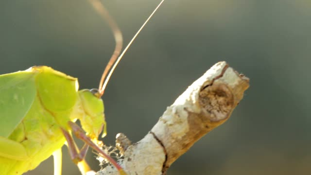 Katydid Bug video